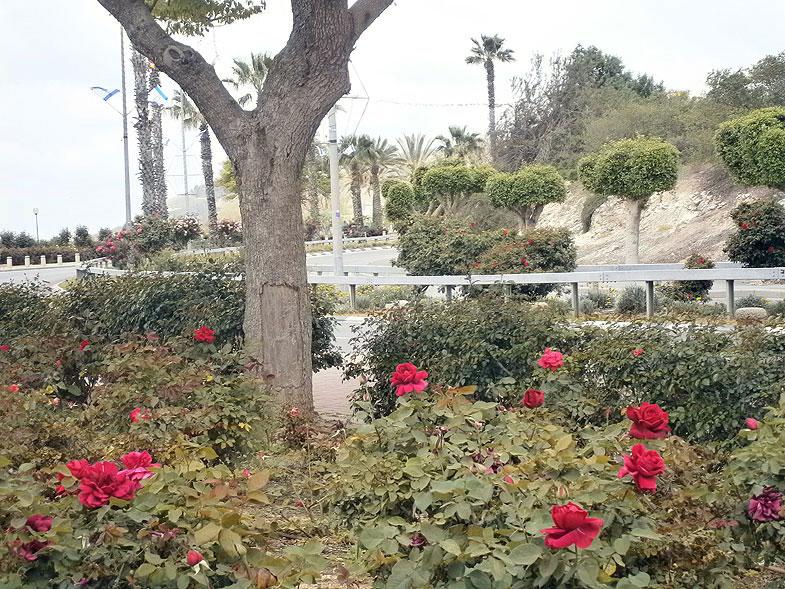 Beit-Shemesh. Rose Garden