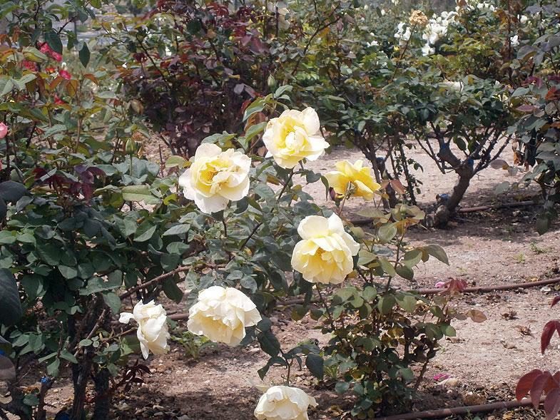 Бейт-Шемеш. Сад роз