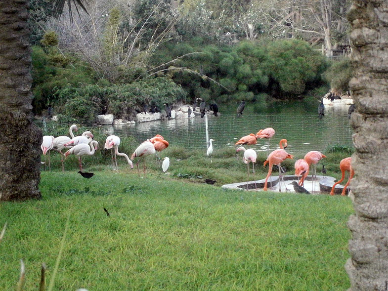 Lake flamingos in the Jerusalem Biblical Zoo
