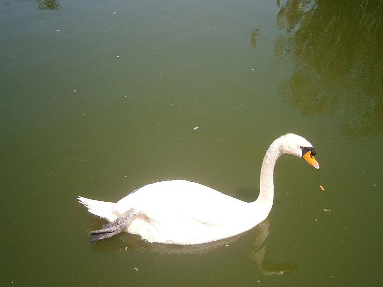Кирьят-Моцкин. Лебединое озеро